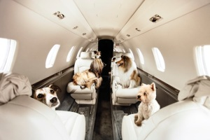 Sequel to Snakes on a Plane: Dogs in a Jet. (Photo: www.styletails.com)